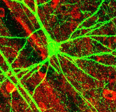 Mikroskopische Aufnahme der Grosshirnrinde einer Maus. Ein zentral gelegenes Pyramiden-Neuron mit grossem Dendriten-Baum exprimiert grün fluoreszierendes Protein. Quelle: Wikipedia
