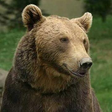 Kampf oder Flucht? Wer einem Bären begegnet, erlebt Stress, wie ihn unsere Vorfahren kannten.