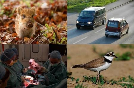 Was sich zählen lässt, wird gezählt: Wildschweine, Autos, Geburten, Vögel (hier ein Flussregenpfeifer)