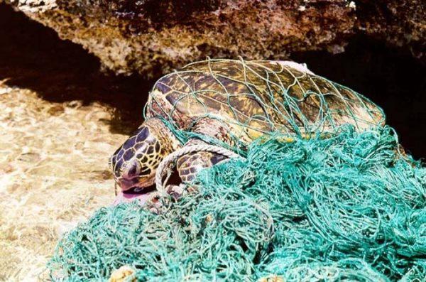 Turtle_entangled_in_marine_debris_Xghost_netX